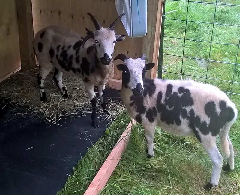 Sheepgirls